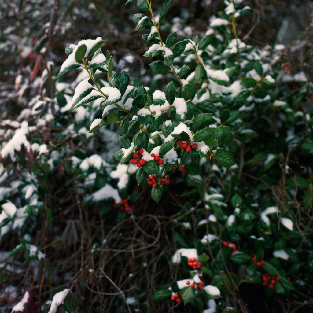 Snow-covered holly bush with berries