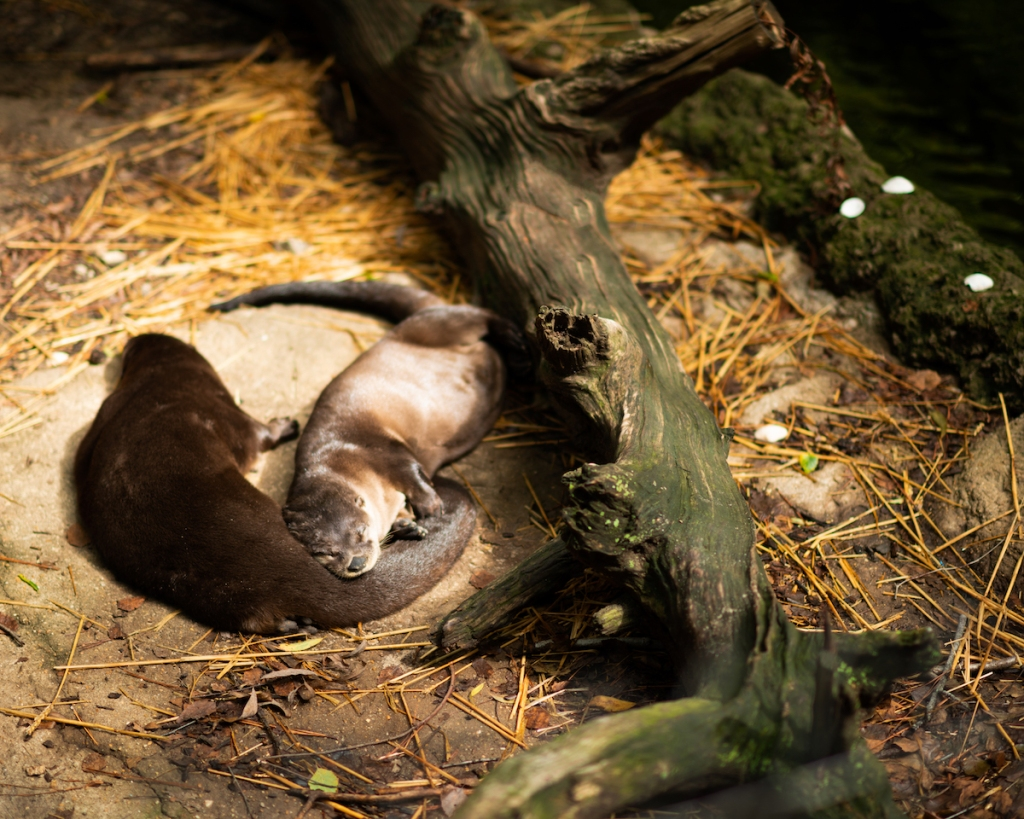Two otters snuggle while sleeping beside a log in their habitat at the Virginia Living Museum