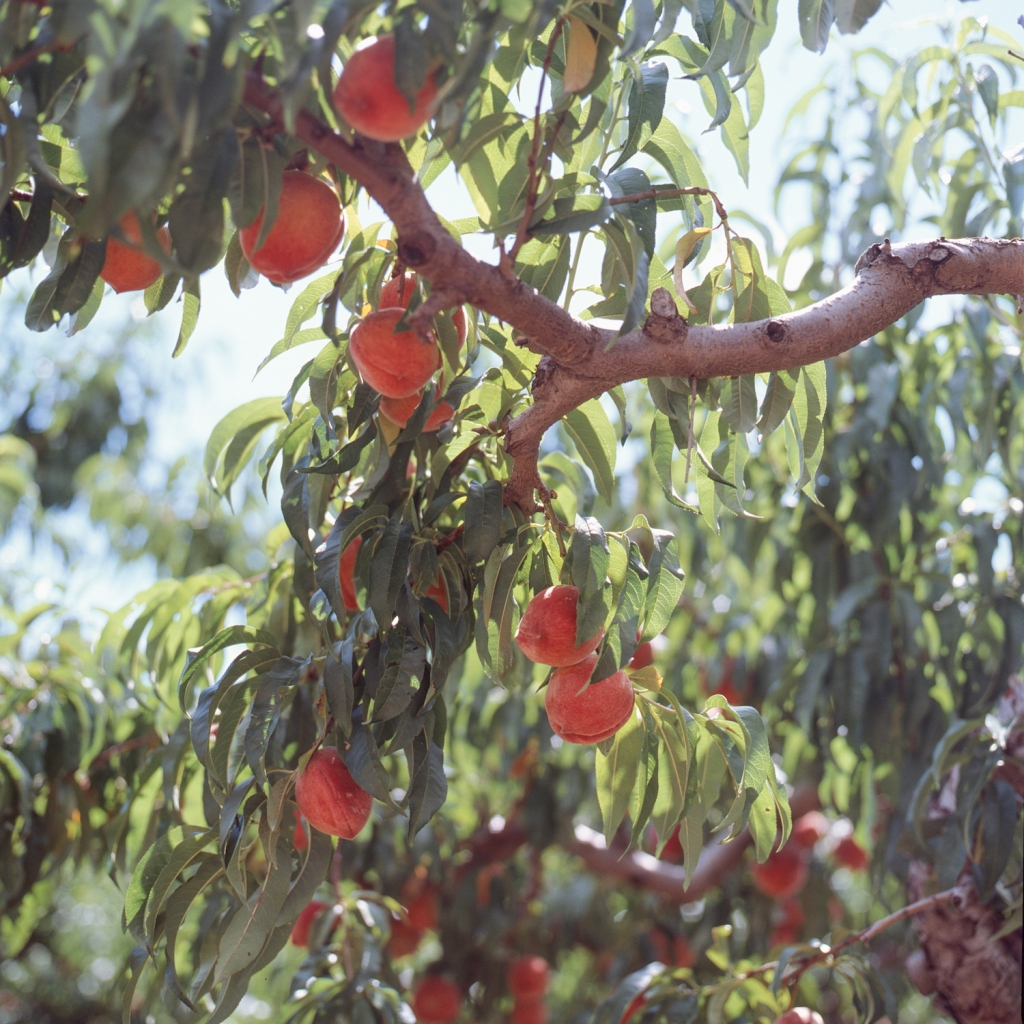 Peaches on the tree at Chile's Peach Orchard