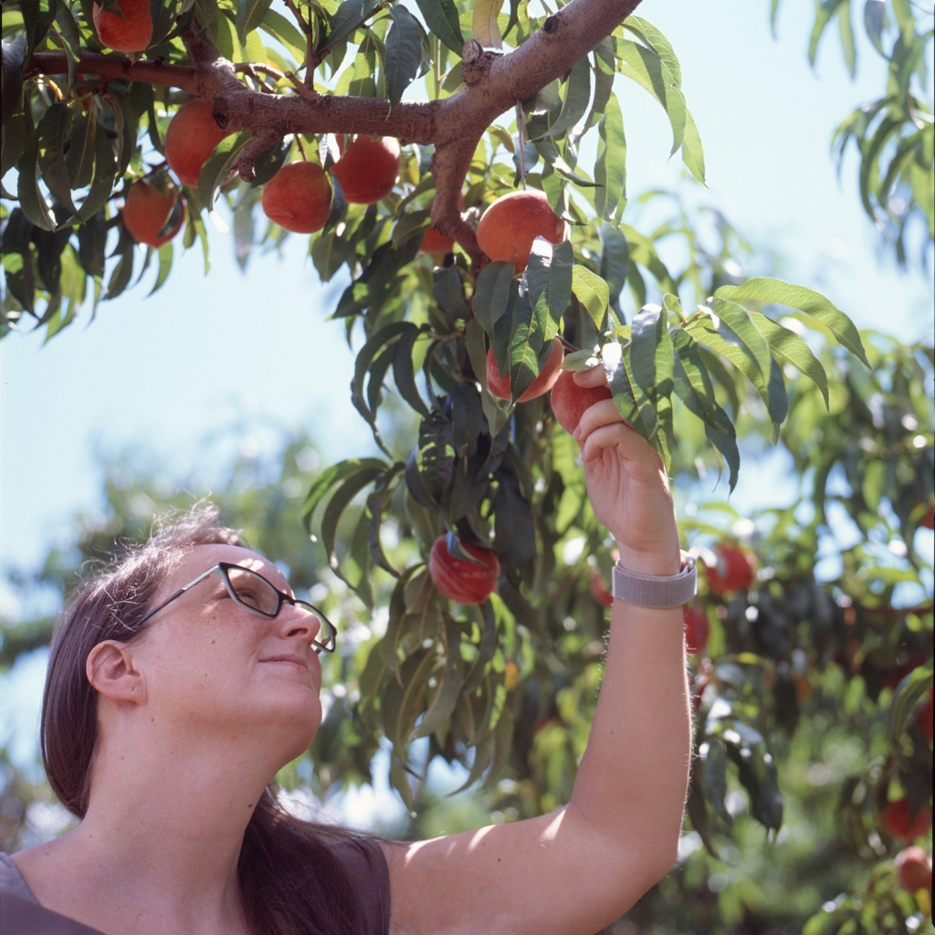 Valerie picking a peach from a tree at Chile's Peach Orchard